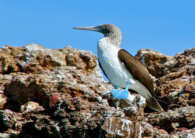 Blue-Footed Booby in Punta Mita Bird Sanctuary